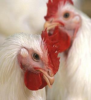 نکاتی در مورد پرورش مرغ مادر