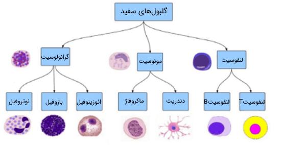 دسته بندی گلبول های سفید در سیستم ایمنی بدن